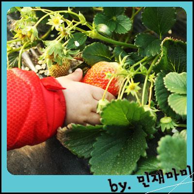 딸기체험농장, 딸기체험, 대구 근교 딸기체험, 체험학습 갈만한 곳