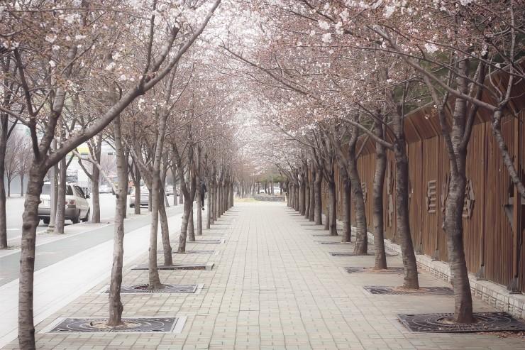 우리동네 벚꽃