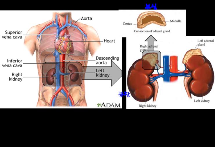 Cancer pancreas ultrassom