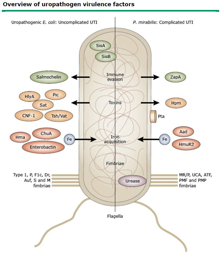 foszfátok a vizelet prosztatitisben