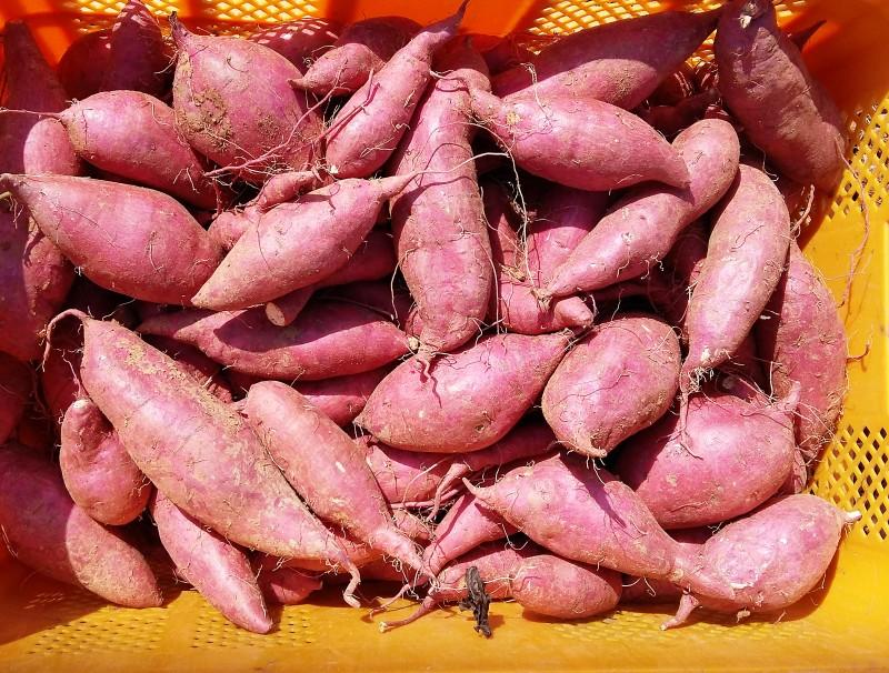 해남고구마의 대표하는 꿀고구마를 수확 판매시작 : 네이버 블로그