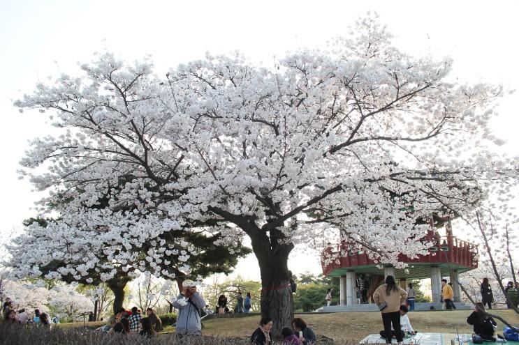 호수공원 봄꽃놀이 1