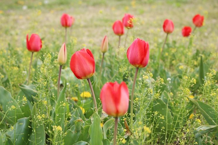 호수공원 봄꽃놀이 2