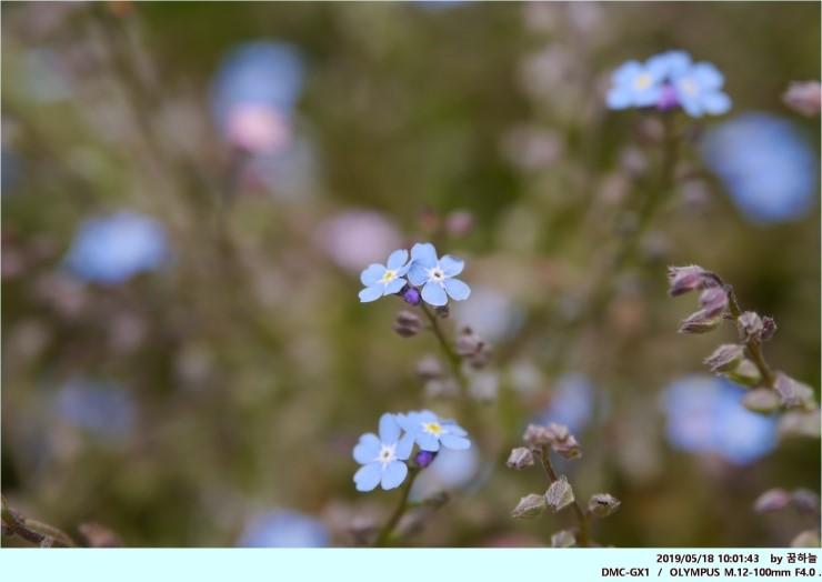 물망초 - 꽃말 : 나를 잊지 말아요