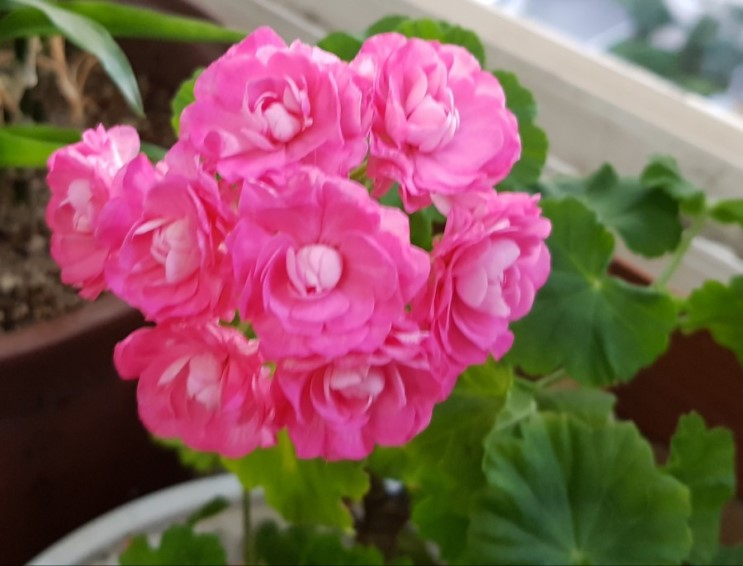 10월 초 제라늄 꽃들