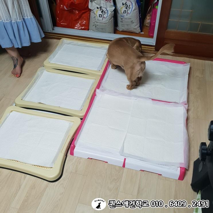 실패가 없는 완벽한 푸들,닥스훈트 강아지 배변훈련 하는방법!! 부산강아지방문훈련