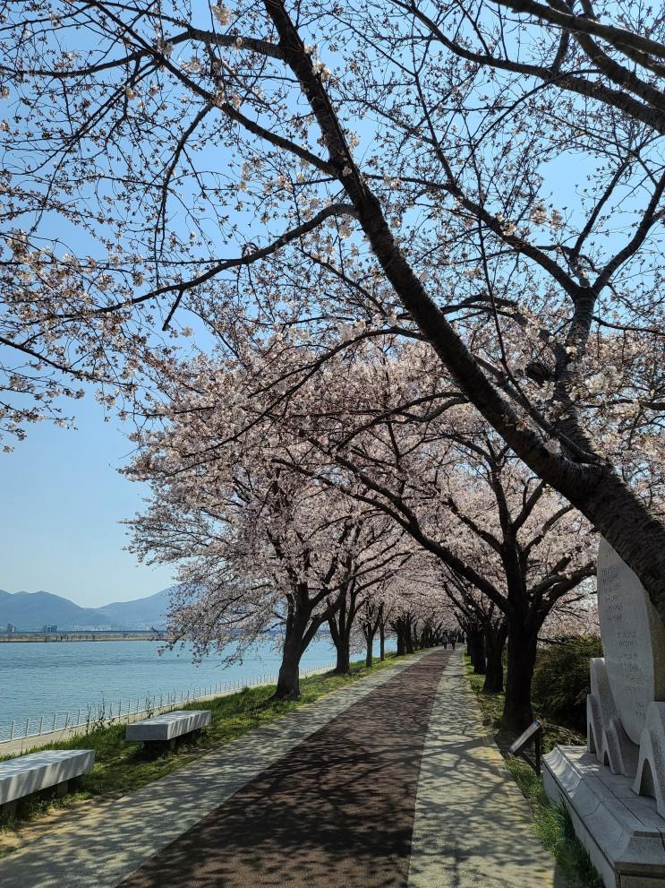 부산 벚꽃 명소 사상 삼락 생태 공원(낙동 제방 벚꽃길) 나들이