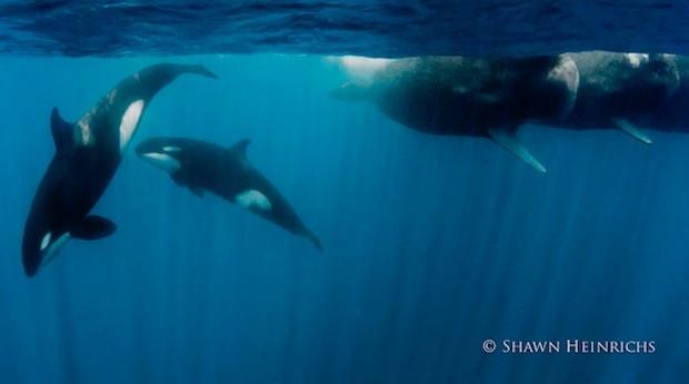 [범고래와 향유고래] 바다 괴수들의 충돌