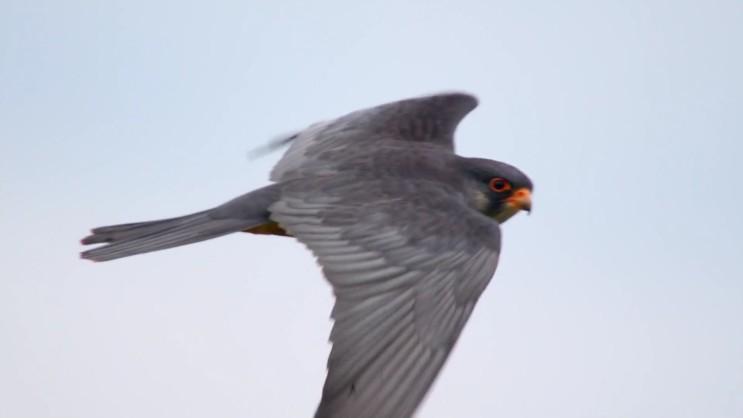 [비둘기조롱이] 평생 25000km를 날아서 이동하는 맹금류