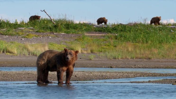 알래스카반도불곰과 늑대, 물개의 연어 사냥