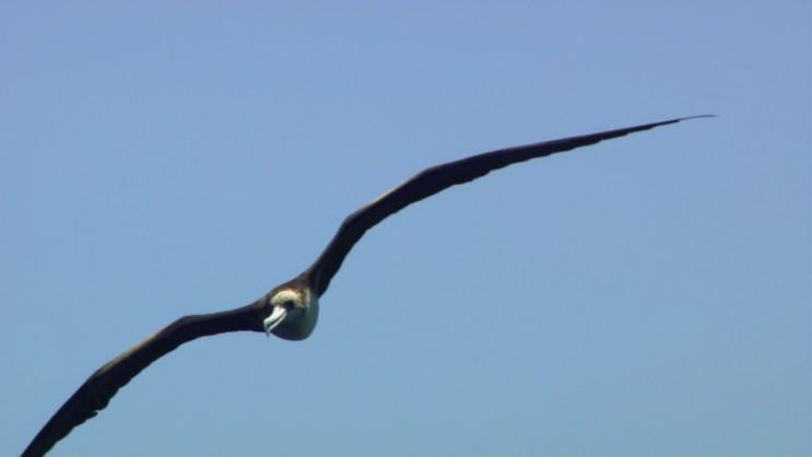 [군함조와 만새기] 날치를 사냥하는 포식자