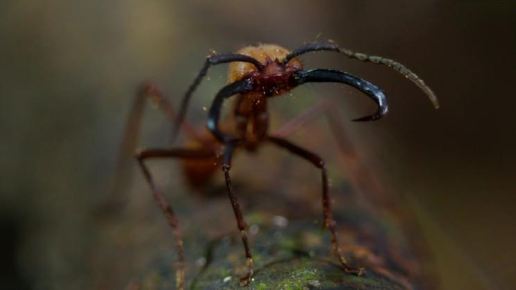 [군대개미] 개미군단의 약탈 행군