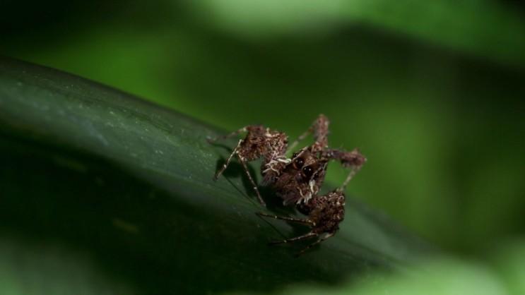 [포샤 깡충거미] 거미를 사냥하는 깡충거미