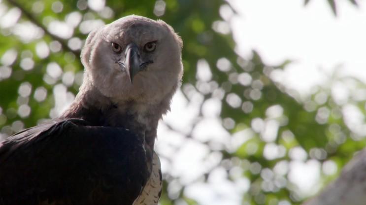 [부채머리수리] 아마존 공중의 최상위 포식자