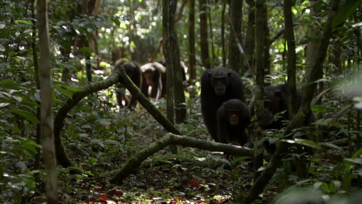 침팬지 무리의 원숭이 사냥