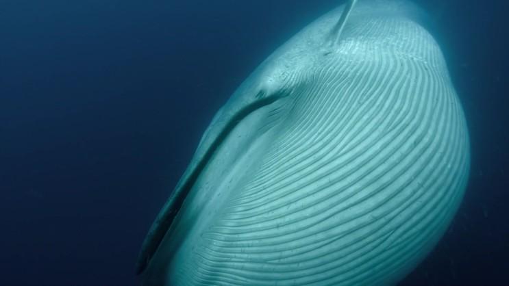 [대왕고래] 지구 역사상 가장 거대한 포식자