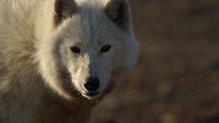 [북극 늑대] 북극 지역의 무리 포식자