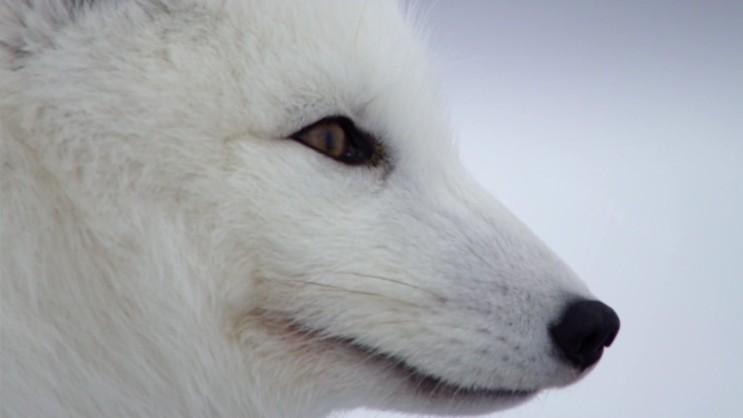 [북극여우] 겨울에는 청소부 동물, 여름에는 포식자