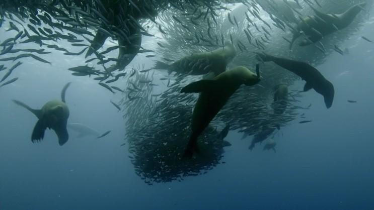 대규모 정어리 사냥에 나선 해양 포식자 연합