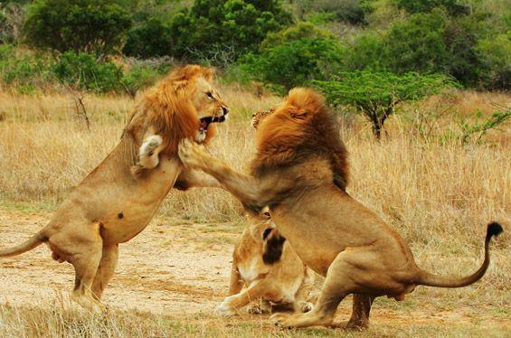 '사자는 양쪽 앞발을 사용할 수 없다?' 사자에 대한 잘못된 주장들