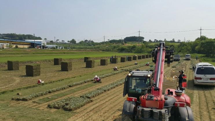 농장직송 잔디판매 모습(초원잔디)
