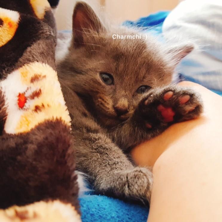 고양이 소개:) 용맹한 맹수 참치의 귀여운 뽀시래기 시절 1탄