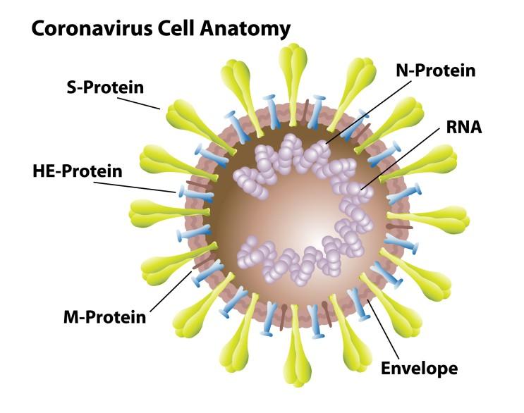 신종 코로나 바이러스에 대한 면역 반응의 잠재적 타겟을 발견하다.