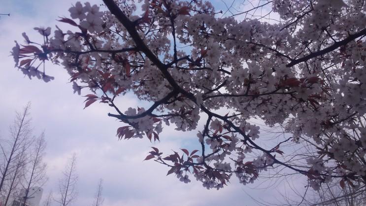 벚꽃이 활짝 폈어요!