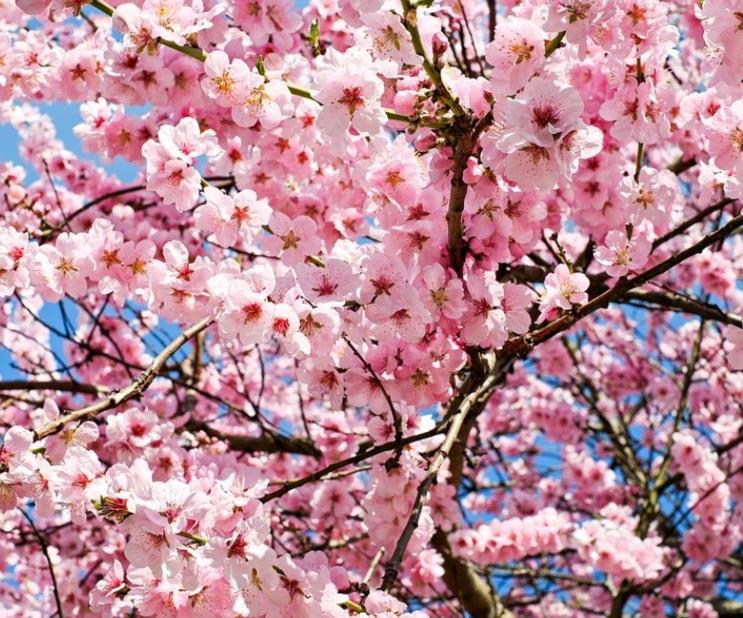 2020 벚꽃 개화시기 지역별로 알아봐요~!!