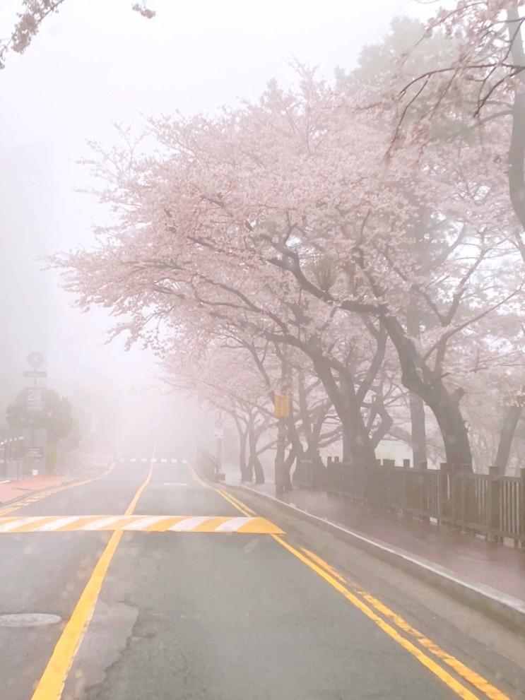 부산 벚꽃 명소 달맞이길 드라이브~