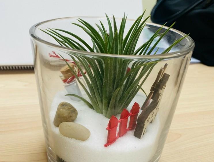 <틸란드시아!> 물이 필요없는 식물! 식물 키우기! 추천