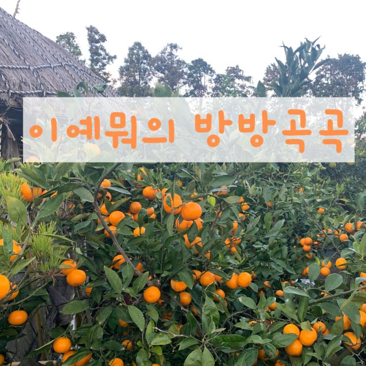 제주도 동쪽 성산 귤따기 체험, 귤 선물 보낸 후기 /귤향체험농장