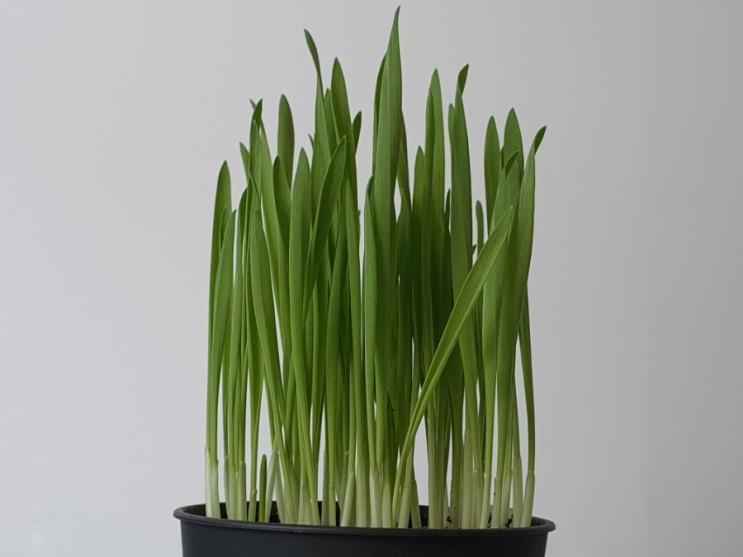 새싹보리 키우기 수경재배 vs 흙재배! 과연 승자는? How to Grow Sprout Barley