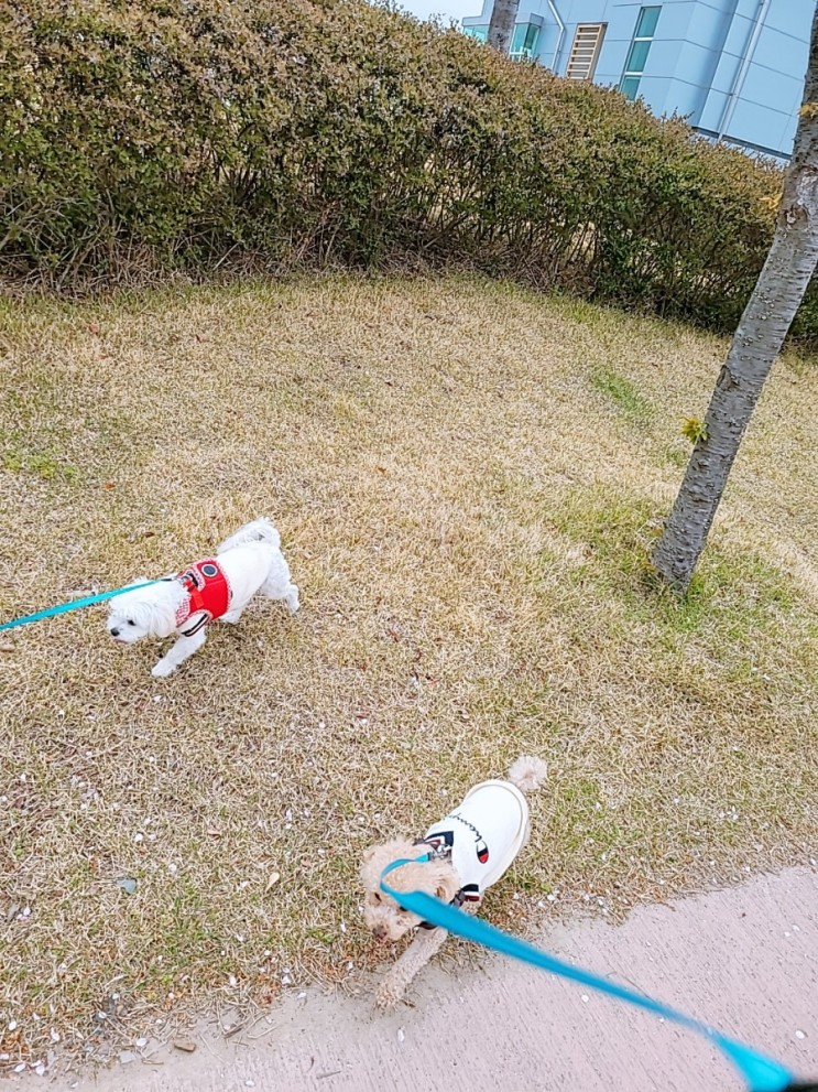 강아지 산책 우리집 심쿵이들 쪼꼬 우유와 산책다녀왔어요