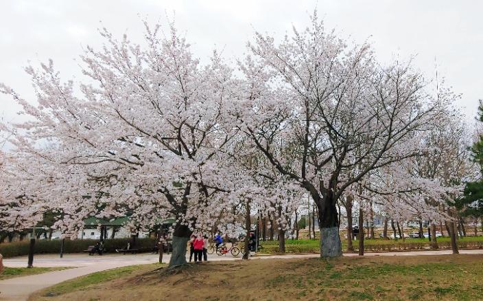 서울 근교 벚꽃 드라이브 고양시 일산으로 오세요
