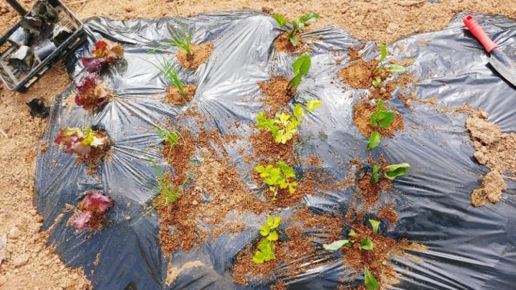4월 텃밭에 상추 샐러리 비트 쑥갓 대파 모종 심기