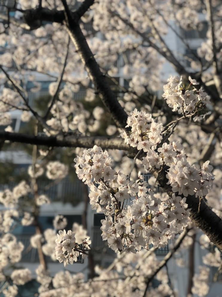 벚꽃 사진 🌸 +사진^__^
