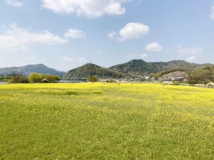 4월, 충주 목계나루 유채꽃이 활짝 피었네요!