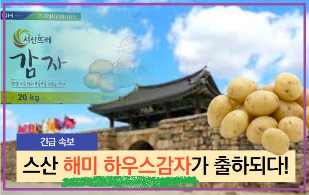 """경매사가 알려드리는 """"스산 해미농협하우스감자"""" 가락시장 첫 출하!"""