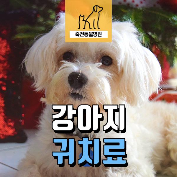 분양받은 강아지 귓병, 귀 진료 시기는? - 용인 죽전동물병원
