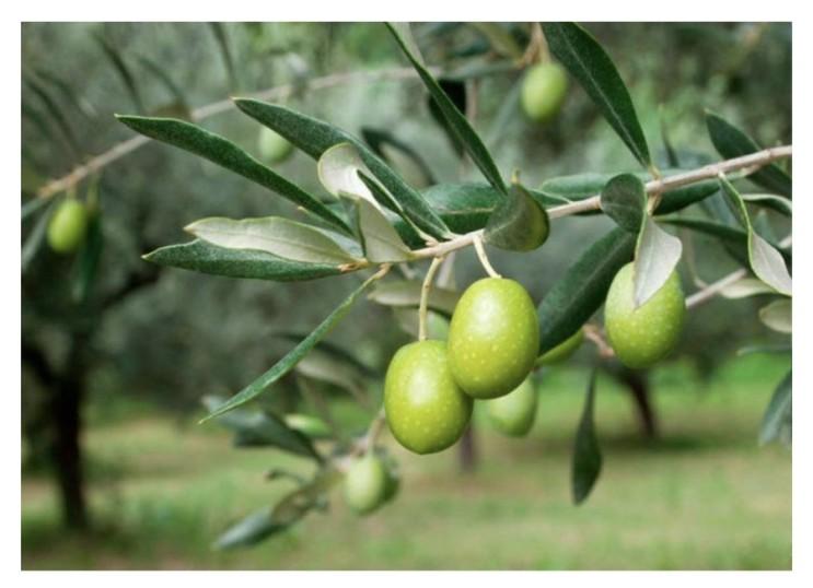 올리브잎추출물 (추출액) 효능과 올러유러핀
