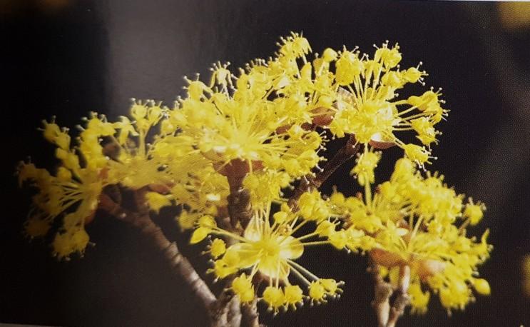 산수유 효능, 산수유나무와 생강나무 꽃 구분