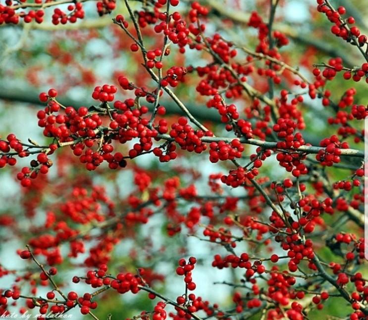 구기자나무 열매와 잎 뿌리까지, 효능, 수확 시기, 섭취방법