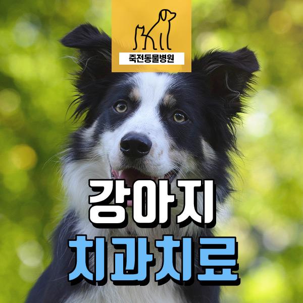 강아지 이가 닳았어요! 반려견 치과 치료 - 용인 죽전동물병원