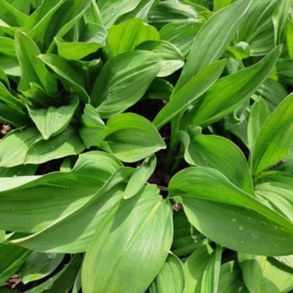 인기 급상승인 강원도 평창 울릉도종 명이나물(선택)/산마늘/생채잎, 잎+줄기 4kg 추천합니다