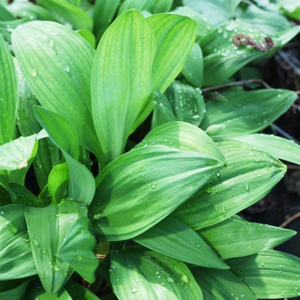 최근 많이 팔린 윤플러스 강원도 홍천 명이나물(산마늘)1kg, 울릉종(잎만) 1kg, 1개 좋아요