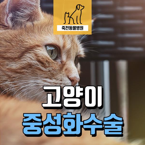 암컷 고양이 발정 스트레스, 중성화 수술 - 동백 죽전 동물병원