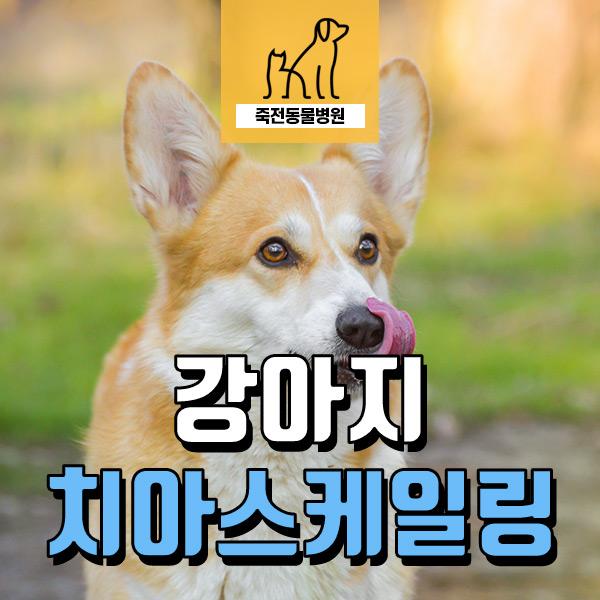 강아지 치아 스케일링의 필요성 - 용인 구성 죽전동물병원