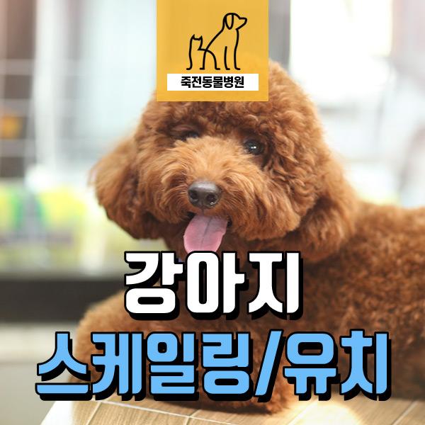 강아지 스케일링과 유치발치 - 구성 죽전 동물병원