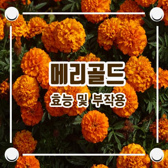메리골드꽃차 효능 및 부작용 / 메리골드